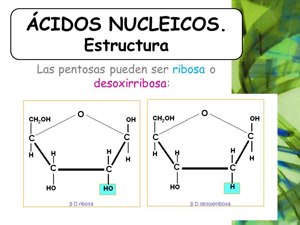 Las pentosas pueden ser ribosa o desoxirribosa: ÁCIDOS NUCLEICOS. Estructura