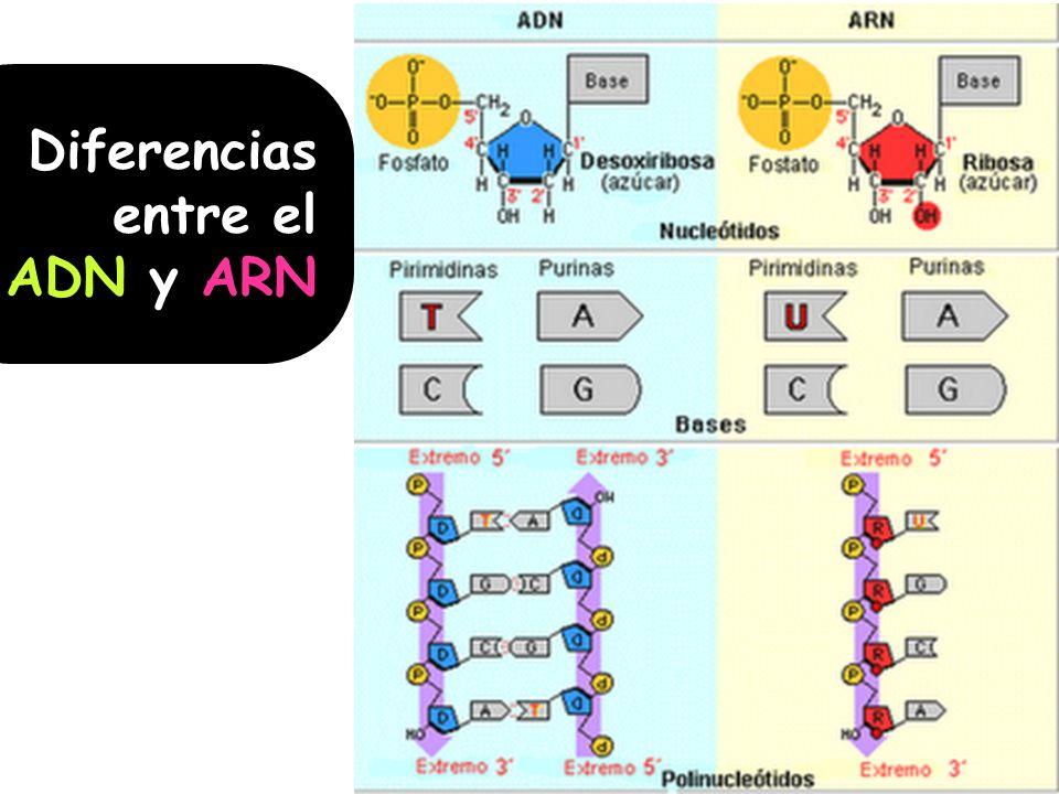 Diferencias entre el ADN y ARN