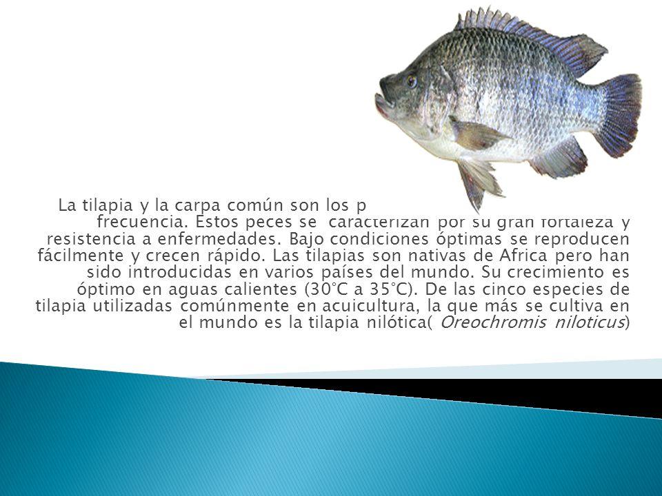 La tilapia y la carpa común son los peces que se cultivan con mayor frecuencia. Estos peces se caracterizan por su gran fortaleza y resistencia a enfe
