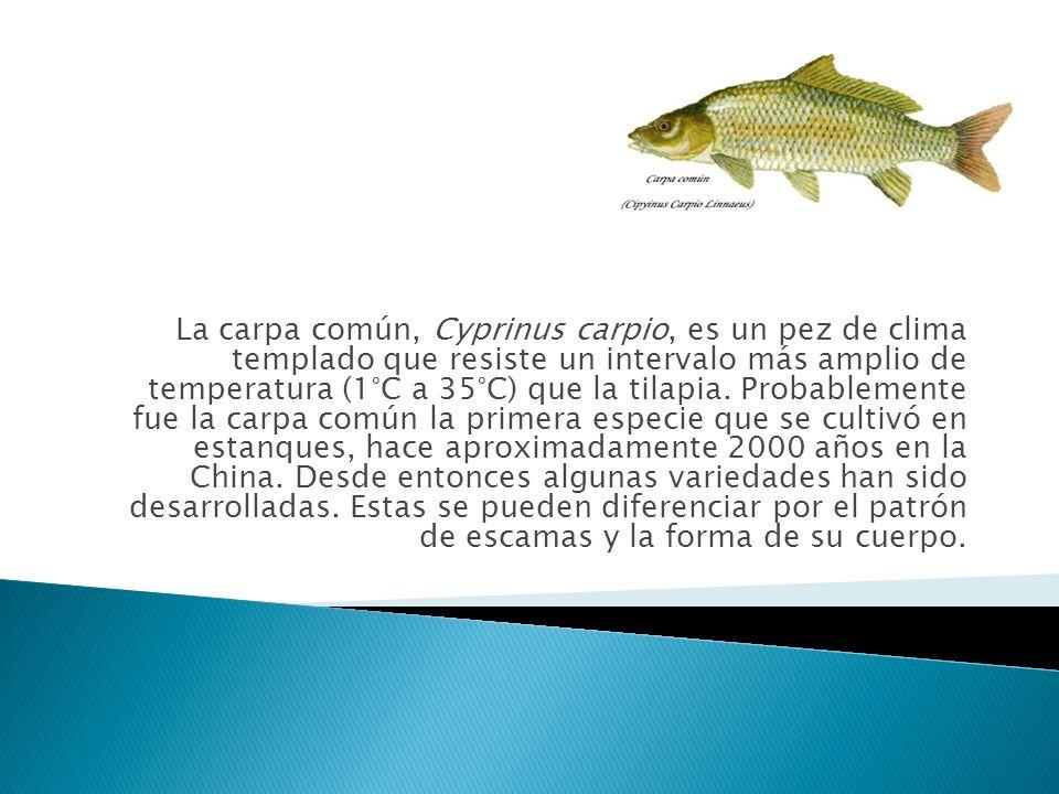 La carpa común, Cyprinus carpio, es un pez de clima templado que resiste un intervalo más amplio de temperatura (1°C a 35°C) que la tilapia. Probablem