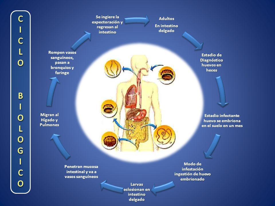 Adultos En intestino delgado Estadio de Diagnóstico huevos en heces Estadio infectante huevo se embriona en el suelo en un mes Modo de infestación ingestión de huevo embrionado Larvas eclosionan en intestino delgado Penetran mucosa intestinal y va a vasos sanguíneos Migran al Hígado y Pulmones Rompen vasos sanguíneos, pasan a bronquios y faringe Se ingiere la expectoración y regresan al intestino