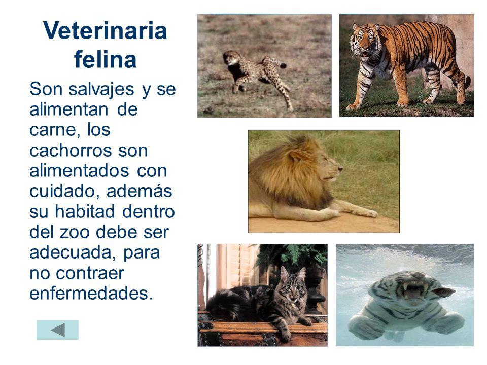 Alimentación felina La mayor parte de alimentación consiste en mamíferos grandes: cebras, gacelas, jirafas, etc. No es un animal carroñero, generalmen