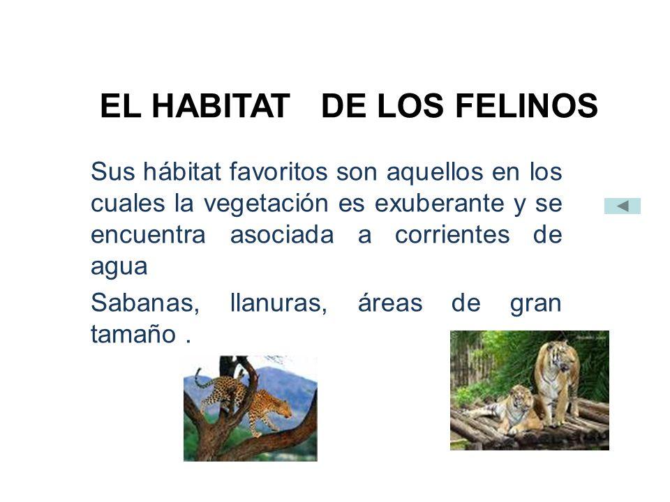 EL HABITAT DE LOS FELINOS Sus hábitat favoritos son aquellos en los cuales la vegetación es exuberante y se encuentra asociada a corrientes de agua Sabanas, llanuras, áreas de gran tamaño.