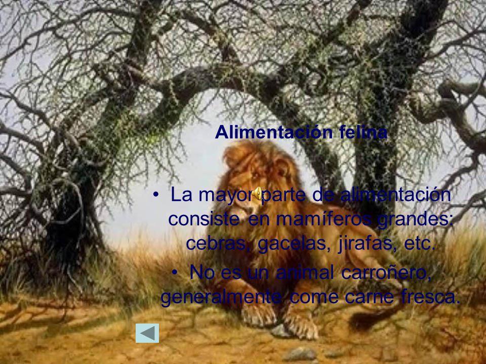 Alimentación felina La mayor parte de alimentación consiste en mamíferos grandes: cebras, gacelas, jirafas, etc.