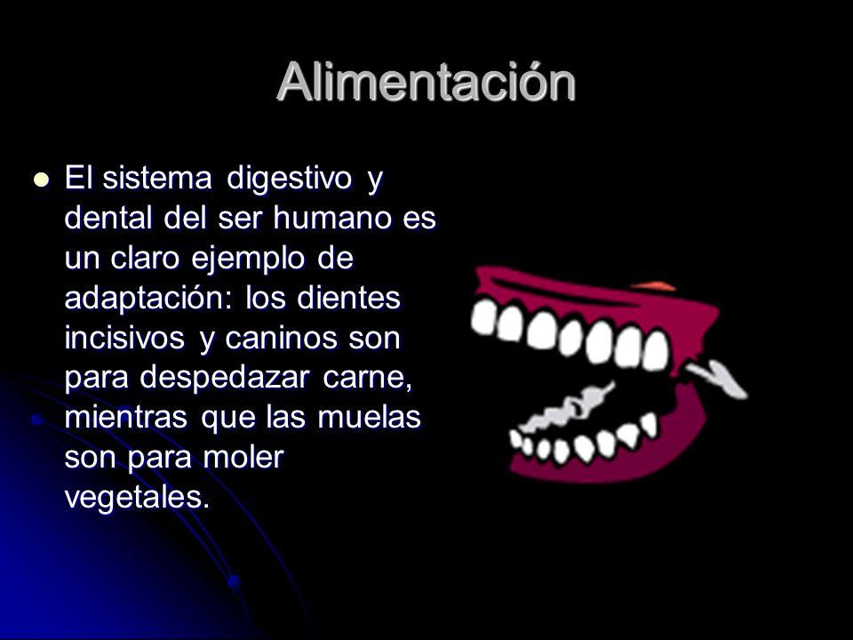 Alimentación El sistema digestivo y dental del ser humano es un claro ejemplo de adaptación: los dientes incisivos y caninos son para despedazar carne, mientras que las muelas son para moler vegetales.