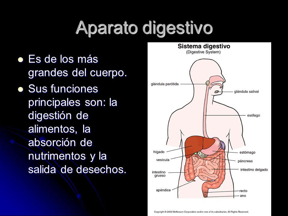 Aparato digestivo Es de los más grandes del cuerpo.