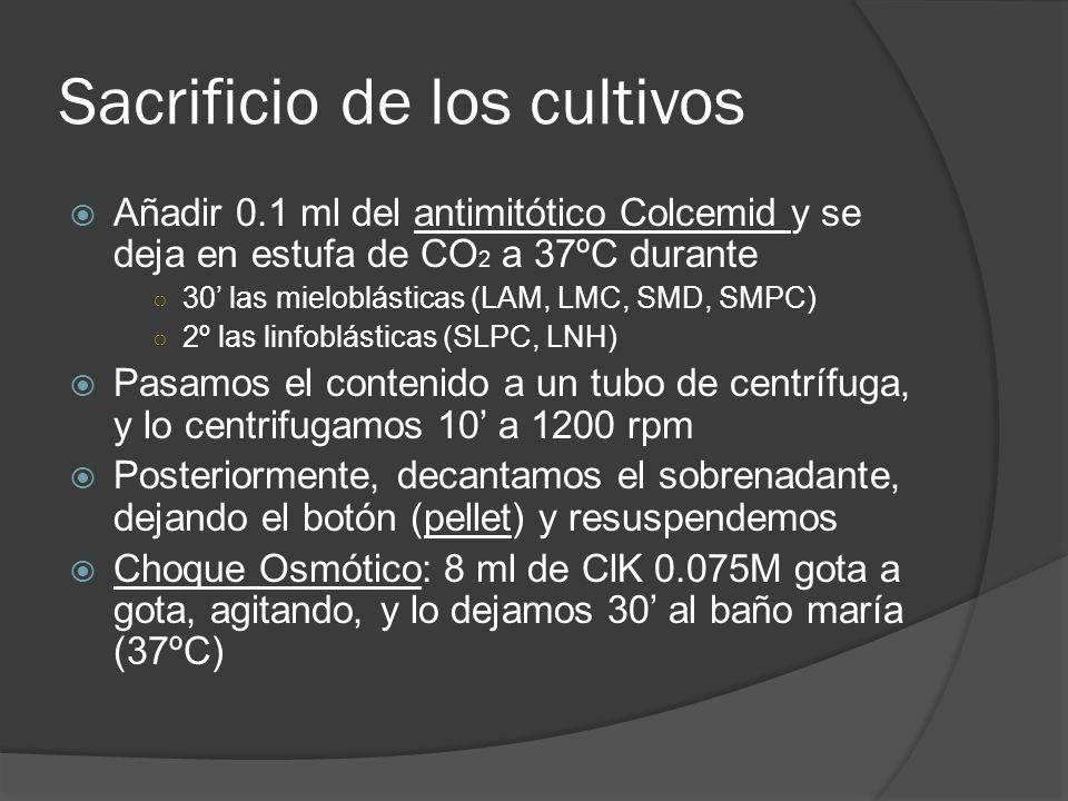 Sacrificio de los cultivos Añadir 0.1 ml del antimitótico Colcemid y se deja en estufa de CO 2 a 37ºC durante 30 las mieloblásticas (LAM, LMC, SMD, SMPC) 2º las linfoblásticas (SLPC, LNH) Pasamos el contenido a un tubo de centrífuga, y lo centrifugamos 10 a 1200 rpm Posteriormente, decantamos el sobrenadante, dejando el botón (pellet) y resuspendemos Choque Osmótico: 8 ml de ClK 0.075M gota a gota, agitando, y lo dejamos 30 al baño maría (37ºC)