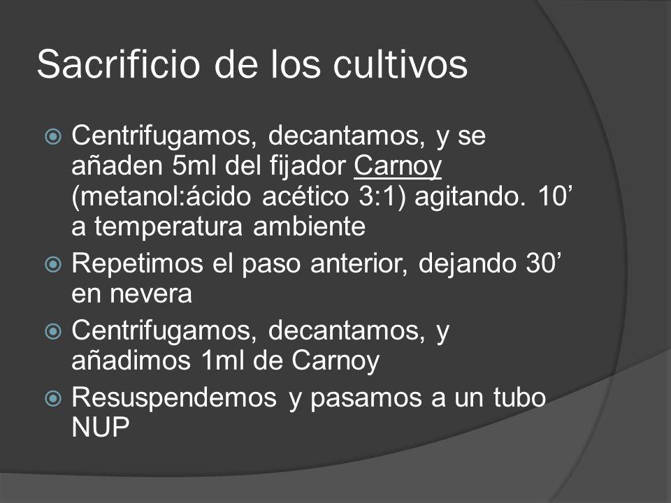 Sacrificio de los cultivos Centrifugamos, decantamos, y se añaden 5ml del fijador Carnoy (metanol:ácido acético 3:1) agitando. 10 a temperatura ambien