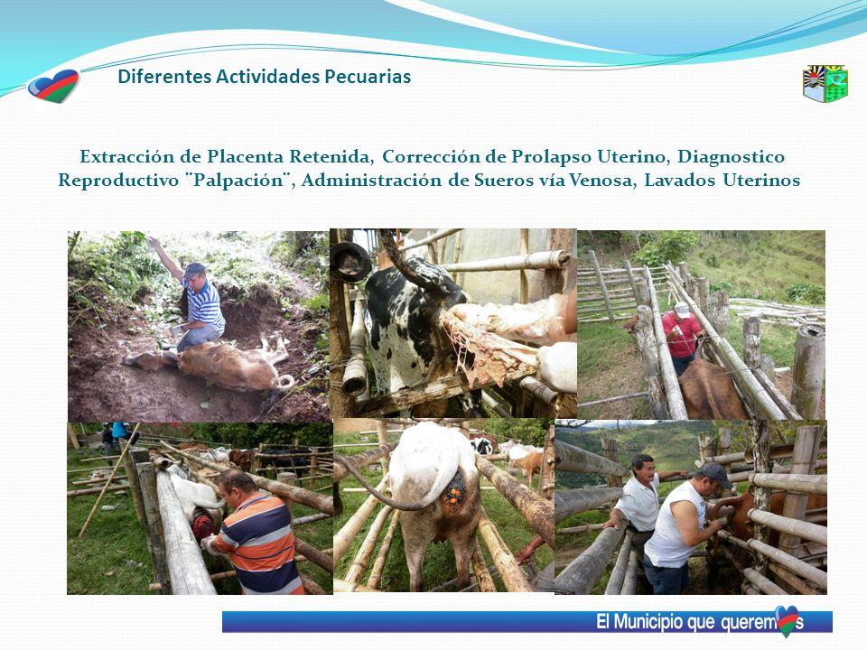 Diferentes Actividades Pecuarias Extracción de Placenta Retenida, Corrección de Prolapso Uterino, Diagnostico Reproductivo ¨Palpación¨, Administración