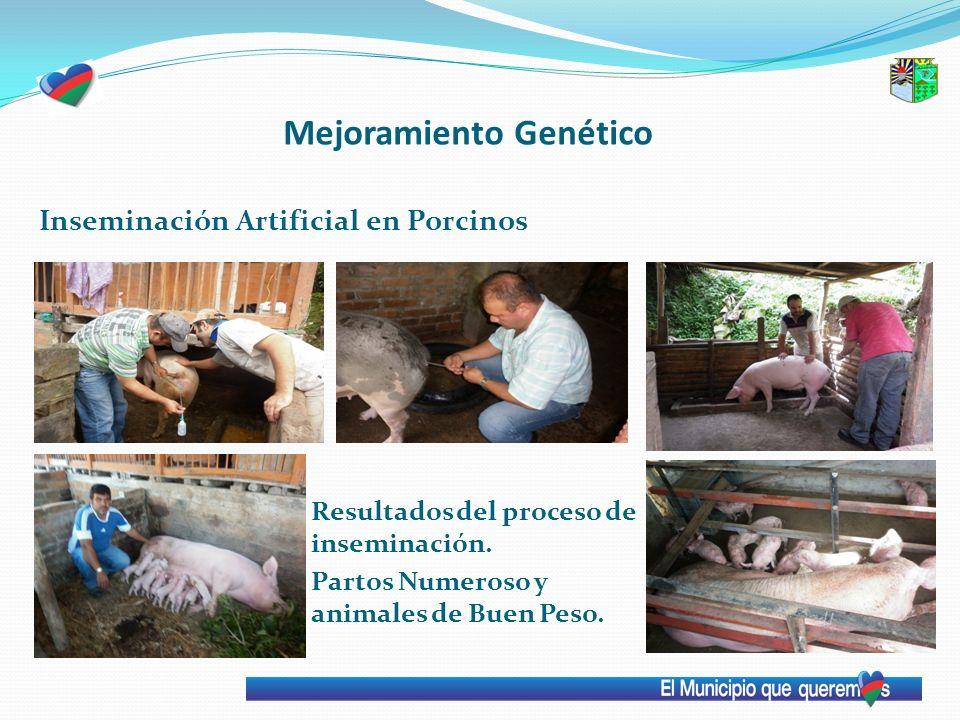 Mejoramiento Genético Inseminación Artificial en Porcinos Resultados del proceso de inseminación. Partos Numeroso y animales de Buen Peso.