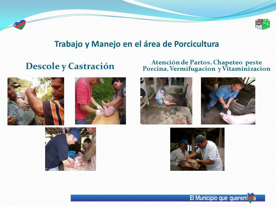 Trabajo y Manejo en el área de Porcicultura Descole y Castración Atención de Partos, Chapeteo peste Porcina, Vermifugacion y Vitaminizacion