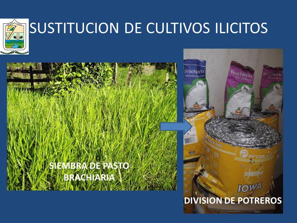 SUSTITUCION DE CULTIVOS ILICITOS SIEMBRA DE PASTO BRACHIARIA DIVISION DE POTREROS