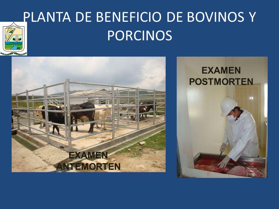 PLANTA DE BENEFICIO DE BOVINOS Y PORCINOS EXAMEN ANTEMORTEN EXAMEN POSTMORTEN