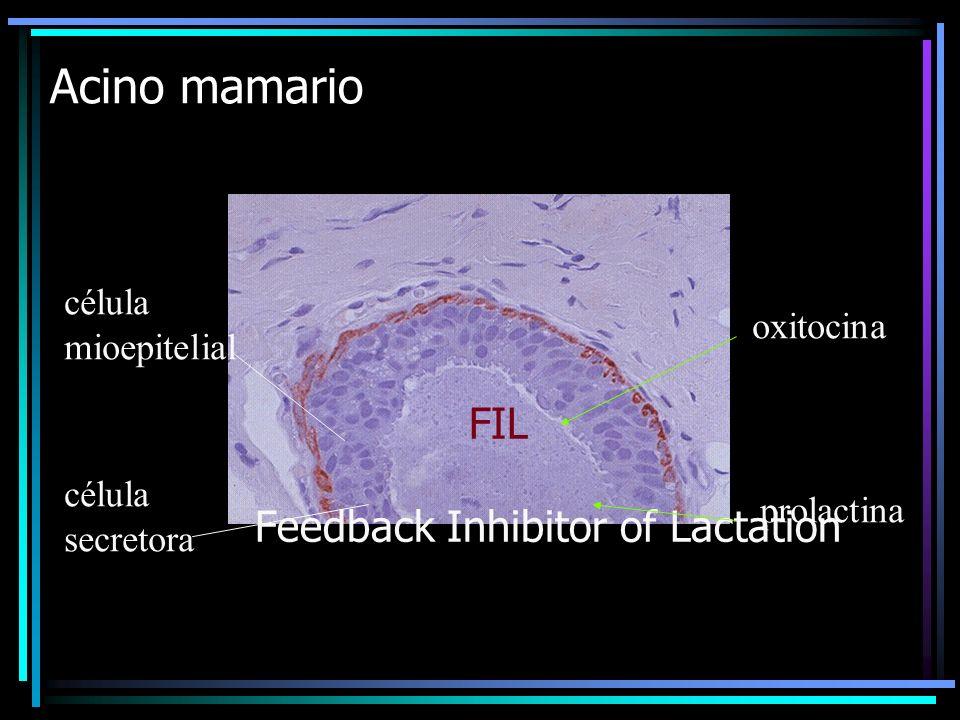FIL Feedback Inhibitor of Lactation Acino mamario célula mioepitelial célula secretora oxitocina prolactina