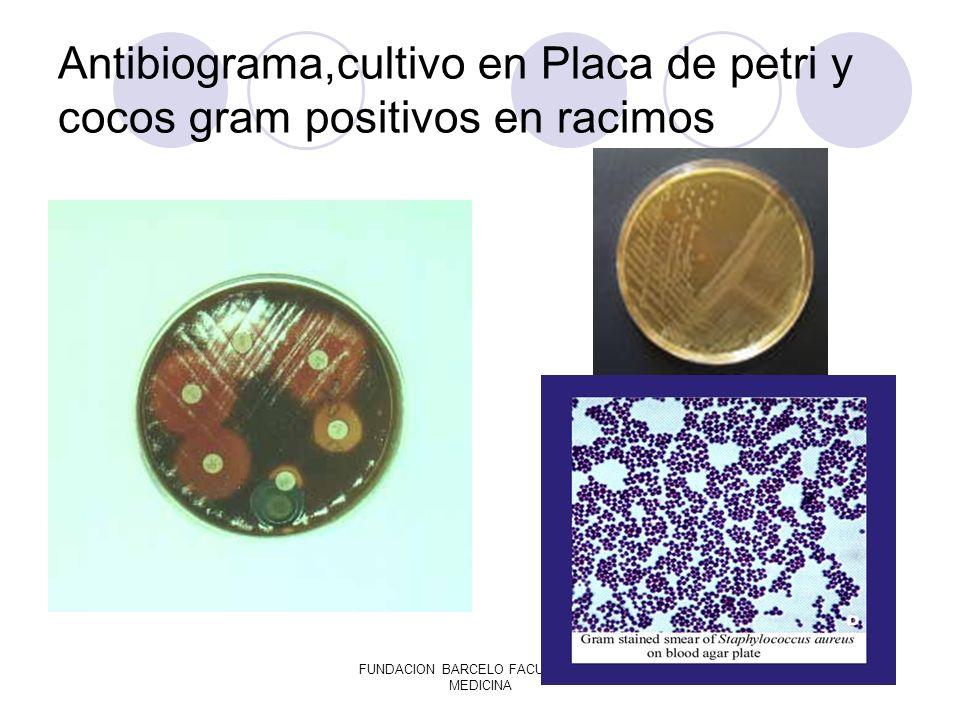 FUNDACION BARCELO FACULTAD DE MEDICINA Antibiograma,cultivo en Placa de petri y cocos gram positivos en racimos