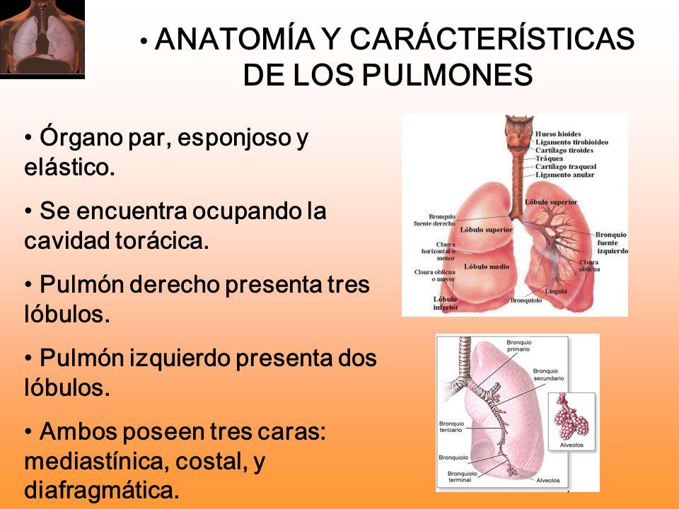 ANATOMÍA Y CARÁCTERÍSTICAS DE LOS PULMONES Órgano par, esponjoso y elástico. Se encuentra ocupando la cavidad torácica. Pulmón derecho presenta tres l