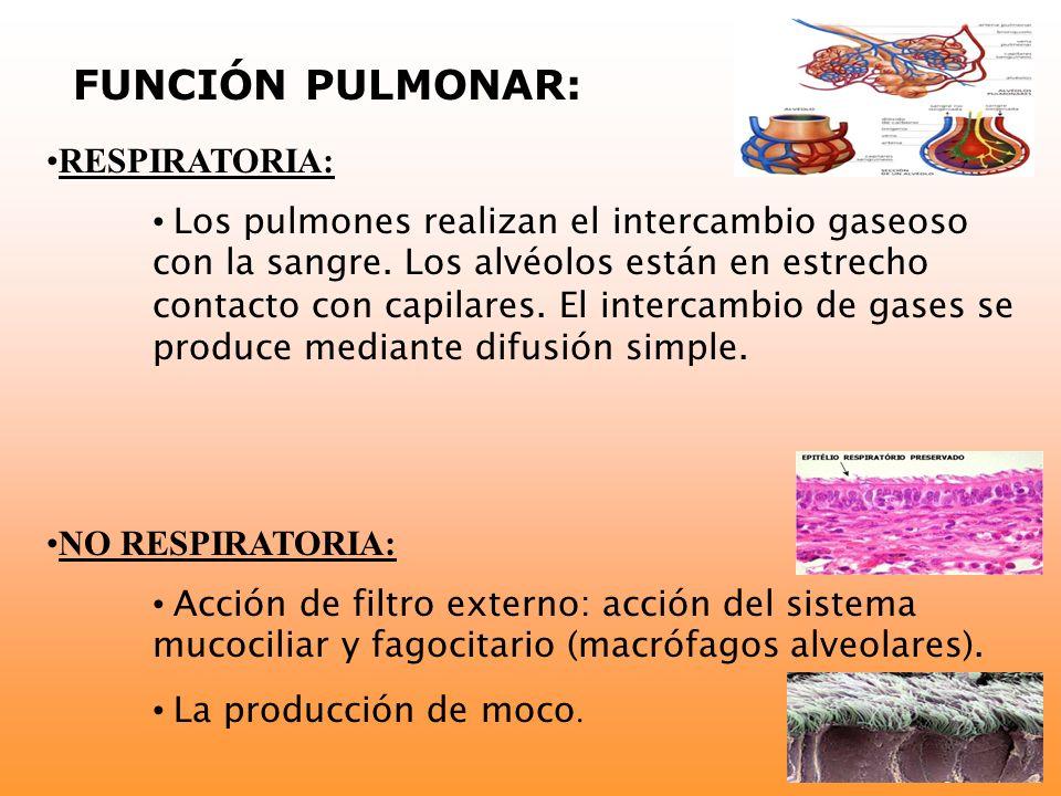 FUNCIÓN PULMONAR: RESPIRATORIA: Los pulmones realizan el intercambio gaseoso con la sangre. Los alvéolos están en estrecho contacto con capilares. El