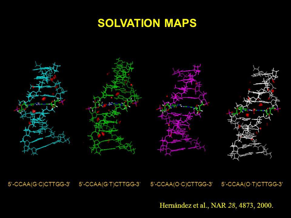 5'-CCAA(G·C)CTTGG-3' 5'-CCAA(G·T)CTTGG-3 5'-CCAA(O·C)CTTGG-3' 5'-CCAA(O·T)CTTGG-3' SOLVATION MAPS Hernández et al., NAR 28, 4873, 2000.