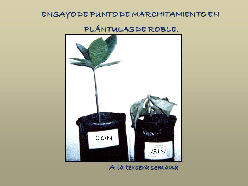 A la tercera semana ENSAYO DE PUNTO DE MARCHITAMIENTO EN PLÁNTULAS DE ROBLE. PLÁNTULAS DE ROBLE. CON SIN