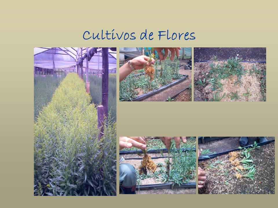 Cultivos de Flores