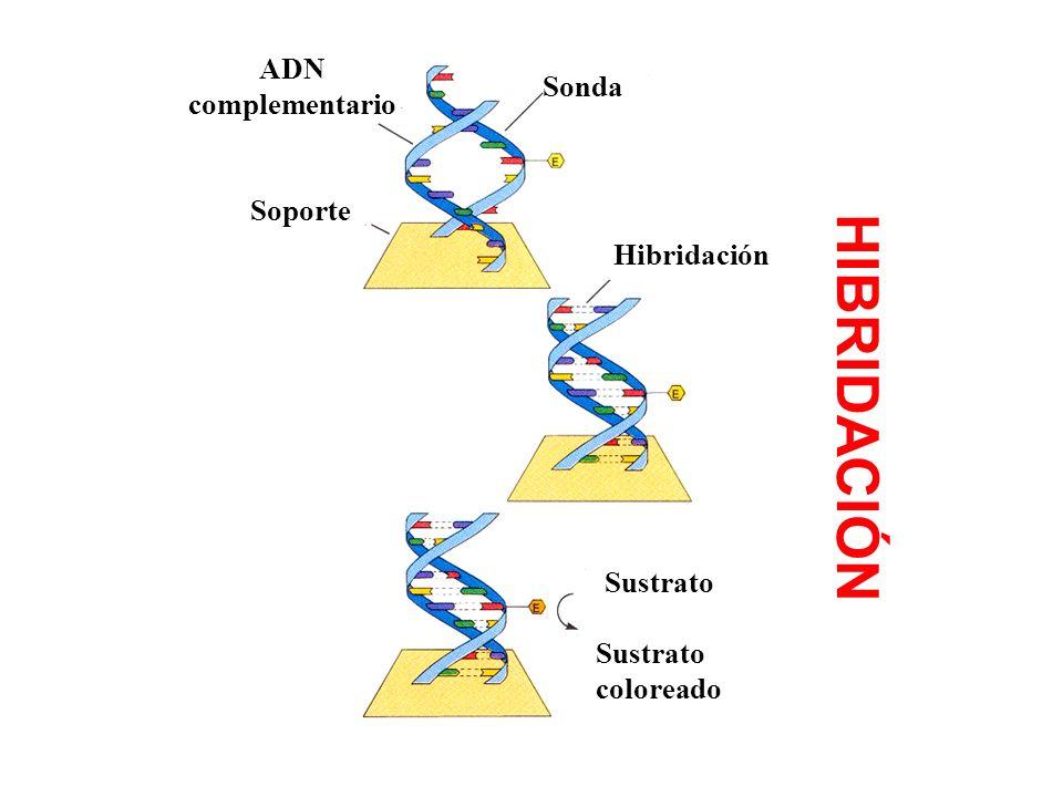 HIBRIDACIÓN Sustrato Sustrato coloreado Hibridación Sonda ADN complementario Soporte