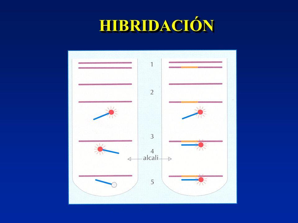 NESTED-PCRNESTED-PCR Amplificación de un fragmento Amplificación de un fragmento Reamplificación de un fragmento interno con otros cebadores Reamplificación de un fragmento interno con otros cebadores En 1 tubo (diferentes temperaturas) o en 2 tubos En 1 tubo (diferentes temperaturas) o en 2 tubos