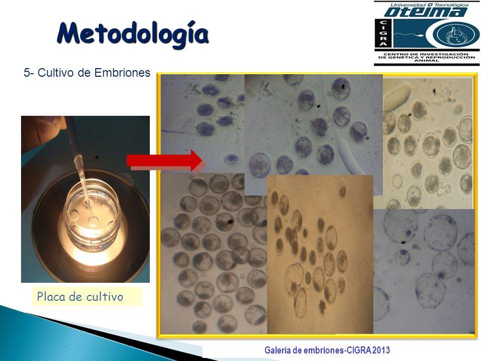Metodología 5- Cultivo de Embriones Placa de cultivo Galería de embriones-CIGRA 2013