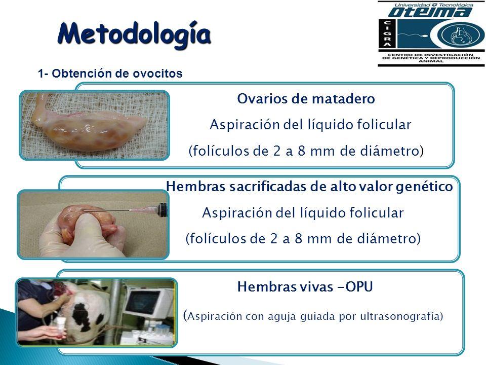 Metodología 1- Obtención de ovocitos Ovarios de matadero Aspiración del líquido folicular (folículos de 2 a 8 mm de diámetro) Hembras sacrificadas de