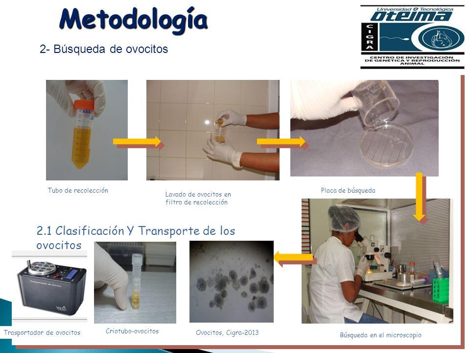 Metodología 2- Búsqueda de ovocitos Tubo de recolección Lavado de ovocitos en filtro de recolección Placa de búsqueda Búsqueda en el microscopio 2.1 C