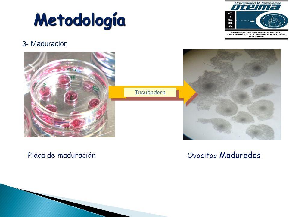 Metodología 3- Maduración Placa de maduración Ovocitos Madurados Incubadora