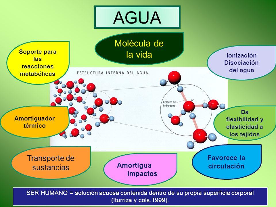 AGUA Molécula de la vida Soporte para las reacciones metabólicas Amortiguador térmico Transporte de sustancias Amortigua impactos Favorece la circulac