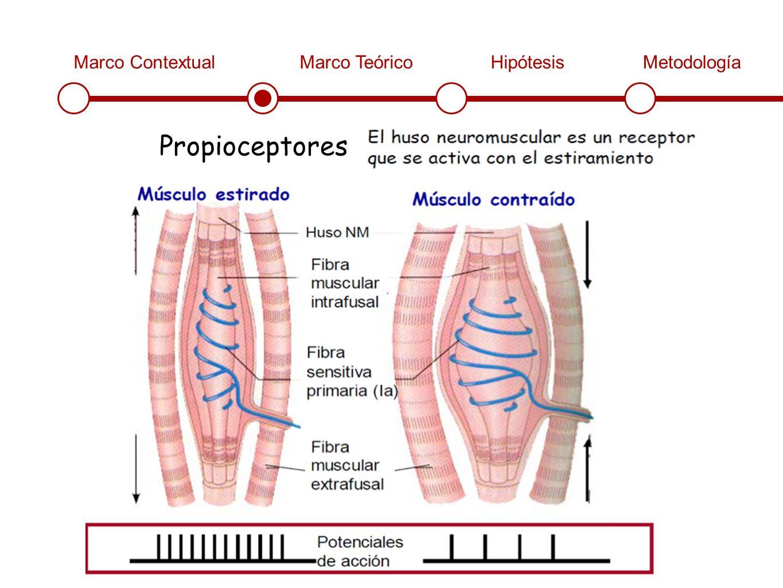 Marco ContextualMarco TeóricoHipótesisMetodología Propioceptores