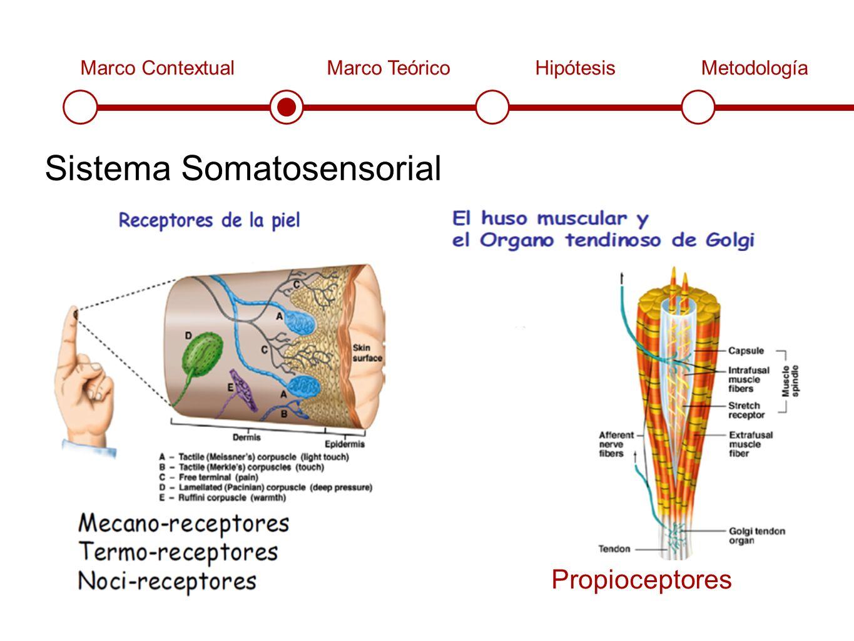 Marco ContextualMarco TeóricoHipótesisMetodología Sistema Somatosensorial Propioceptores