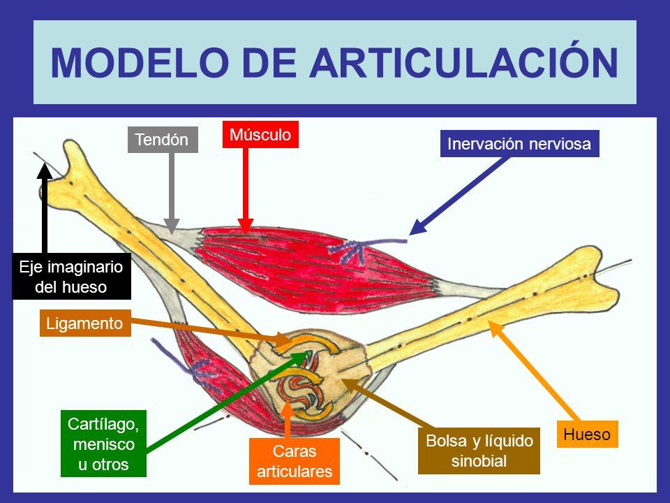 MODELO DE ARTICULACIÓN Tendón Músculo Inervación nerviosa Hueso Bolsa y líquido sinobial Eje imaginario del hueso Ligamento Cartílago, menisco u otros Caras articulares