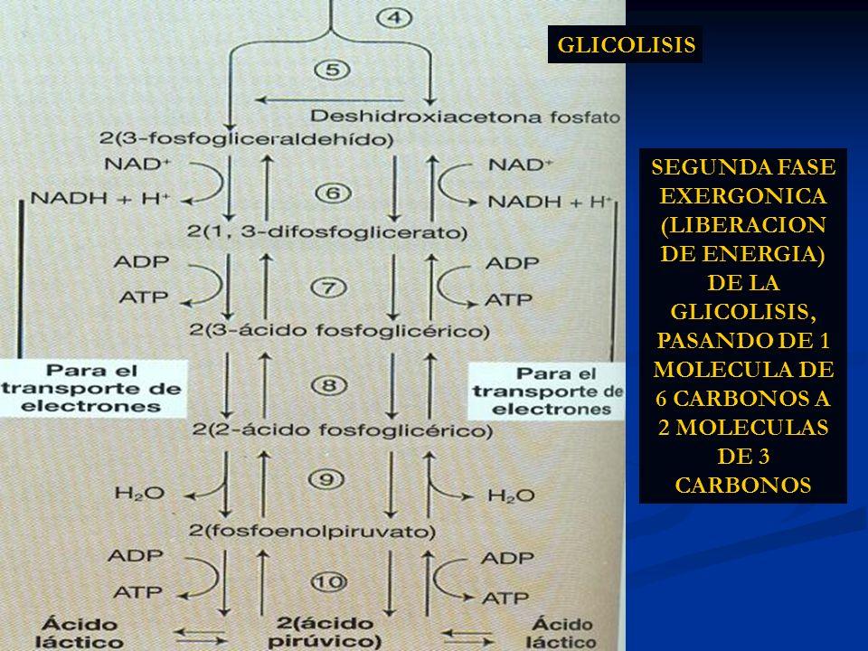 SEGUNDA FASE EXERGONICA (LIBERACION DE ENERGIA) DE LA GLICOLISIS, PASANDO DE 1 MOLECULA DE 6 CARBONOS A 2 MOLECULAS DE 3 CARBONOS GLICOLISIS