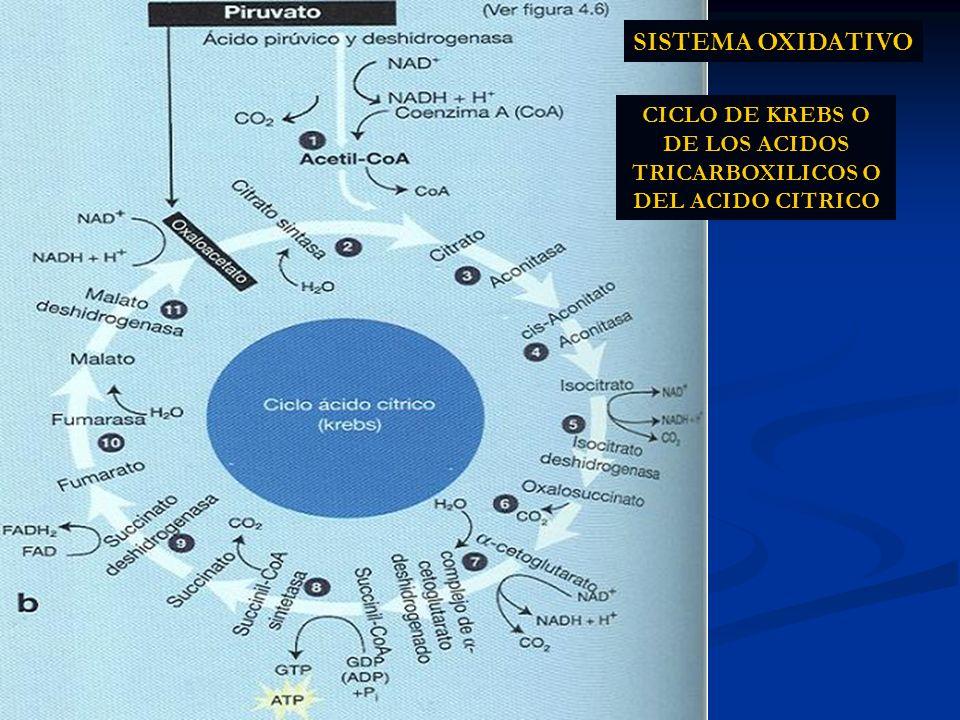 CICLO DE KREBS O DE LOS ACIDOS TRICARBOXILICOS O DEL ACIDO CITRICO SISTEMA OXIDATIVO