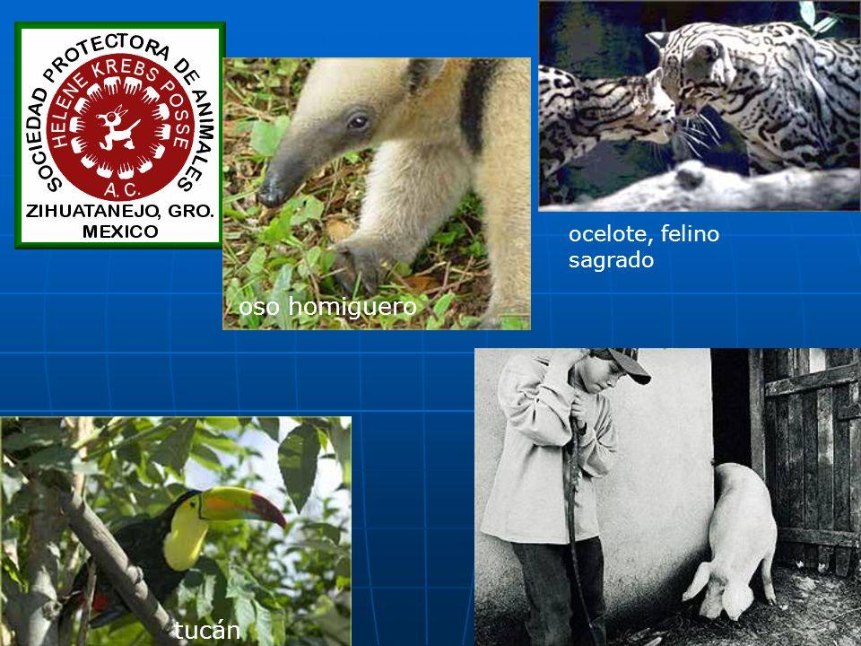tucán oso homiguero ocelote, felino sagrado