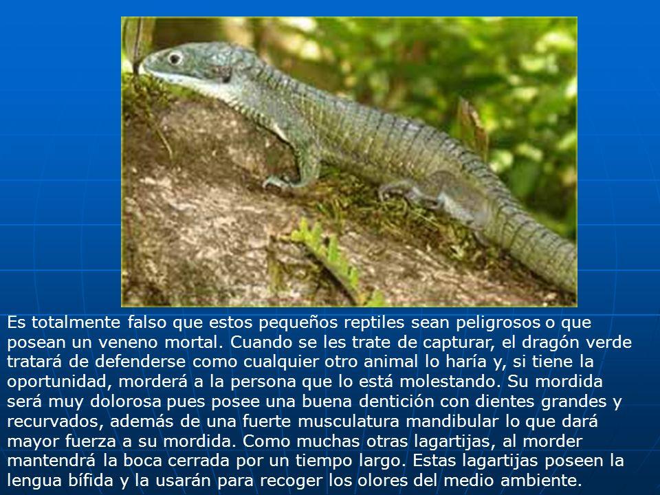 Es totalmente falso que estos pequeños reptiles sean peligrosos o que posean un veneno mortal. Cuando se les trate de capturar, el dragón verde tratar