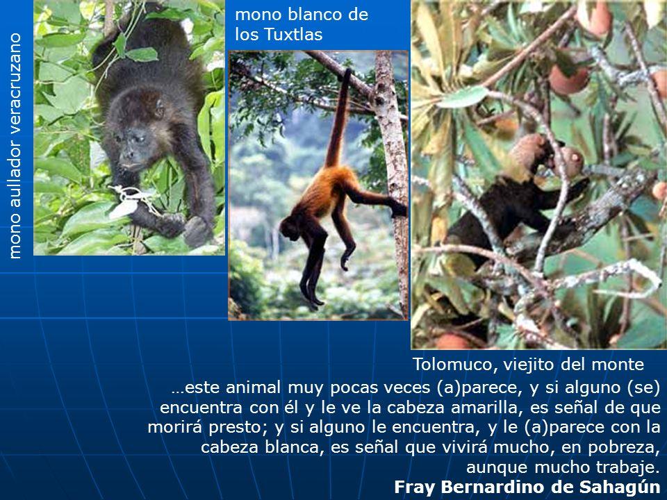 mono aullador veracruzano mono blanco de los Tuxtlas …este animal muy pocas veces (a)parece, y si alguno (se) encuentra con él y le ve la cabeza amari
