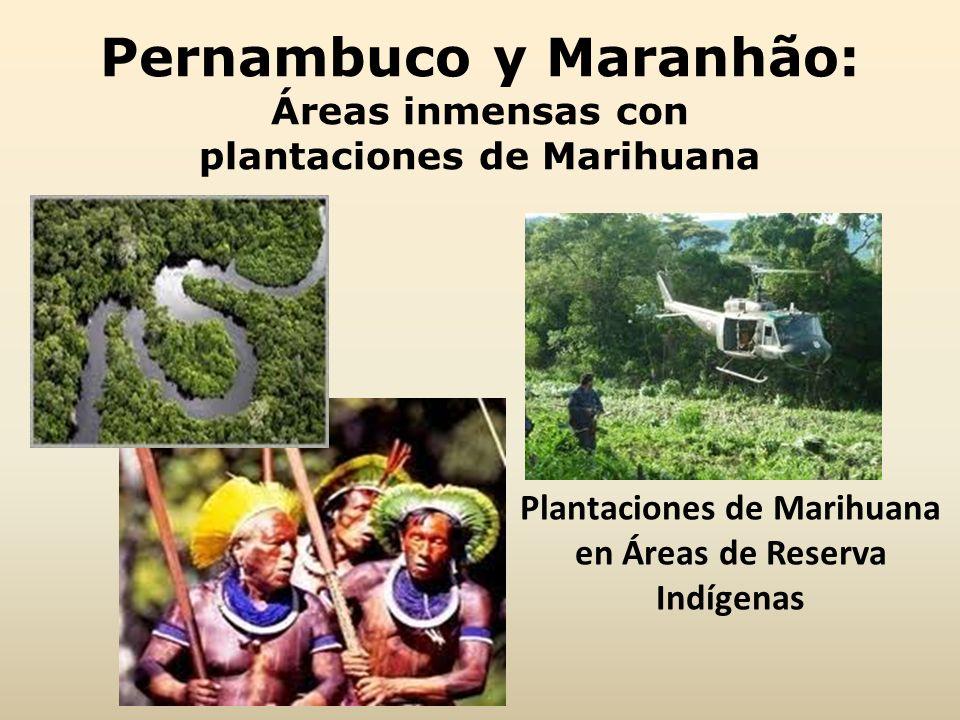 Pernambuco y Maranhão: Áreas inmensas con plantaciones de Marihuana Plantaciones de Marihuana en Áreas de Reserva Indígenas