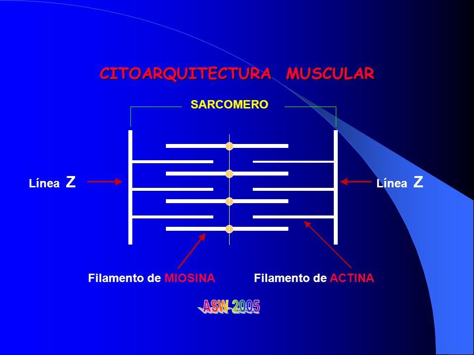 CITOARQUITECTURA MUSCULAR SARCOMERO Línea Z Filamento de MIOSINAFilamento de ACTINA Línea Z