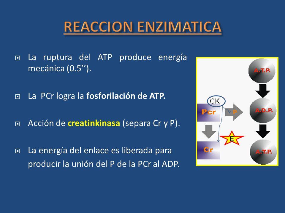 La ruptura del ATP produce energía mecánica (0.5). La PCr logra la fosforilación de ATP. Acción de creatinkinasa (separa Cr y P). La energía del enlac