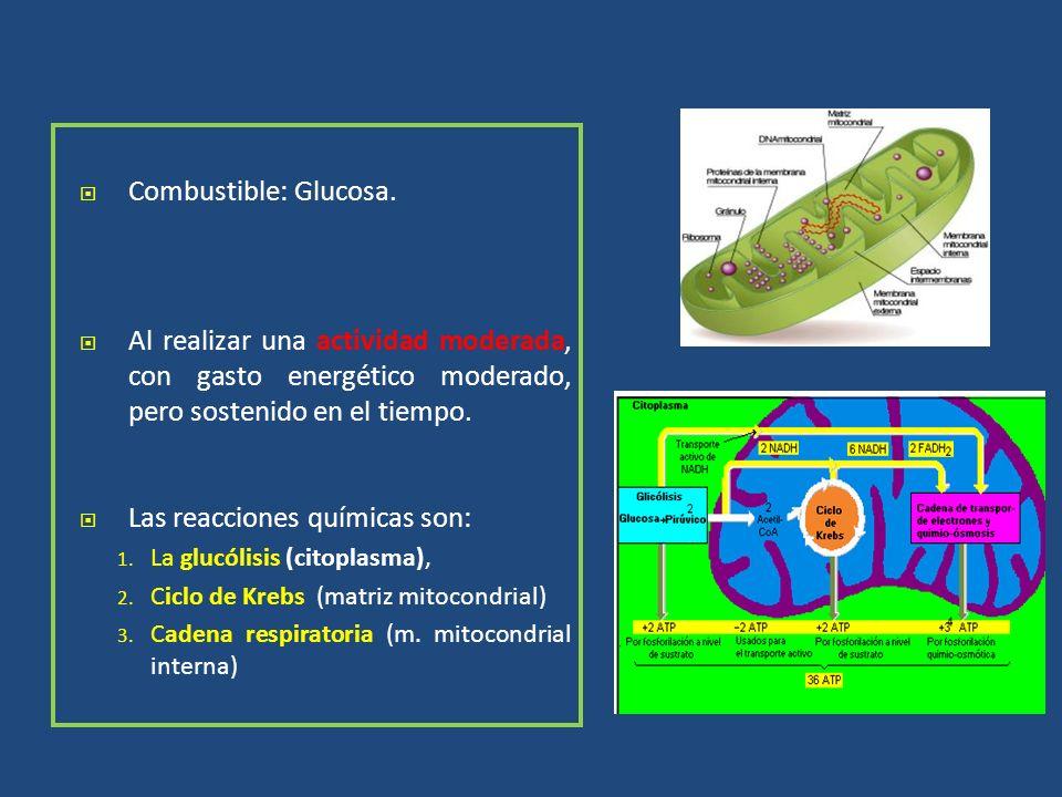 Combustible: Glucosa. Al realizar una actividad moderada, con gasto energético moderado, pero sostenido en el tiempo. Las reacciones químicas son: 1.