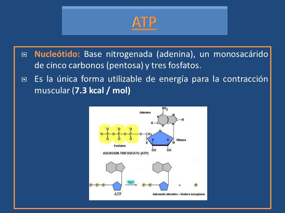 Nucleótido: Base nitrogenada (adenina), un monosacárido de cinco carbonos (pentosa) y tres fosfatos. Es la única forma utilizable de energía para la c