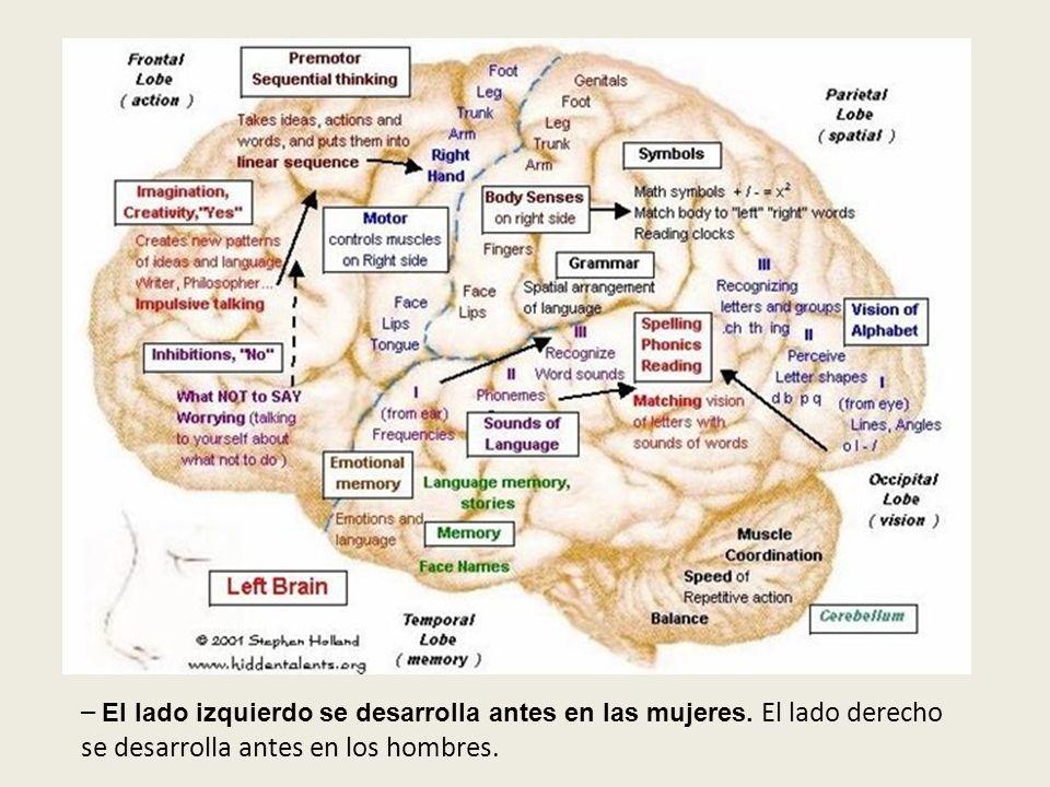 El cerebro y sus funciones – El lado izquierdo se desarrolla antes en las mujeres. El lado derecho se desarrolla antes en los hombres.