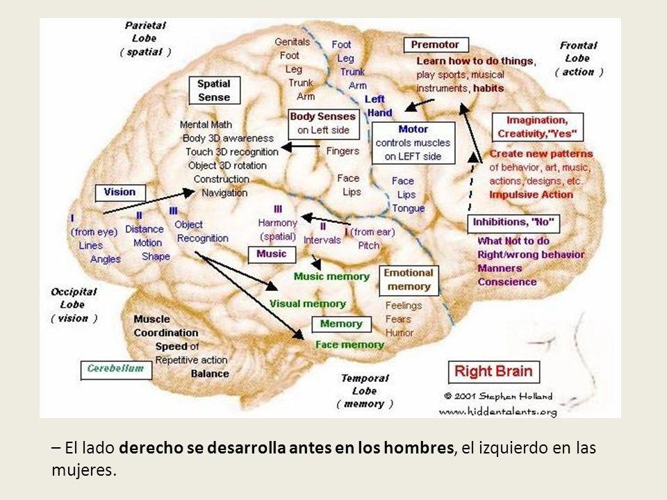El cerebro y sus funciones – El lado derecho se desarrolla antes en los hombres, el izquierdo en las mujeres.