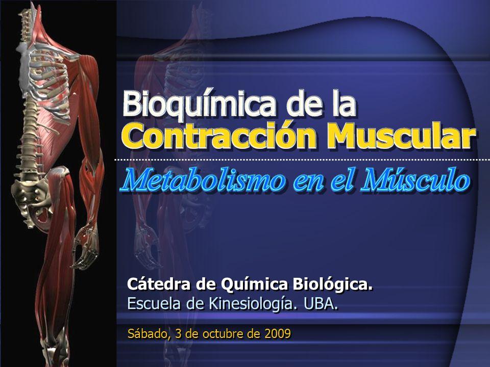 Bioquímica de la Contracción Múscular Metabolismo del Músculo post-ingesta Sangre Glucosa Glucosa Glucógeno Glucógeno Glucógeno Sintasa Sintasa Piruvato Piruvato DH CTC CR F.