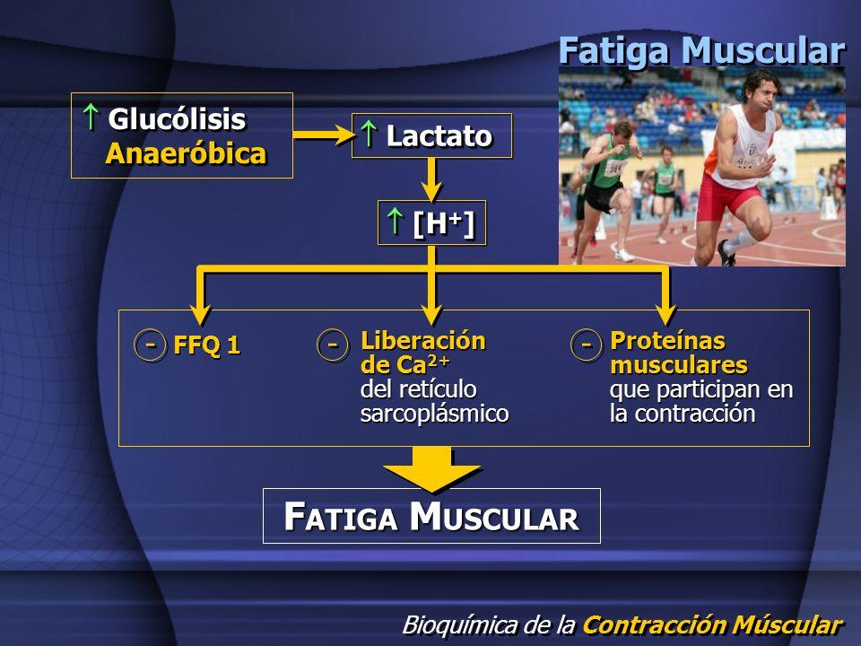 Bioquímica de la Contracción Múscular F ATIGA M USCULAR Fatiga Muscular Glucólisis Anaeróbica Glucólisis Anaeróbica Lactato Lactato [H + ] [H + ] FFQ