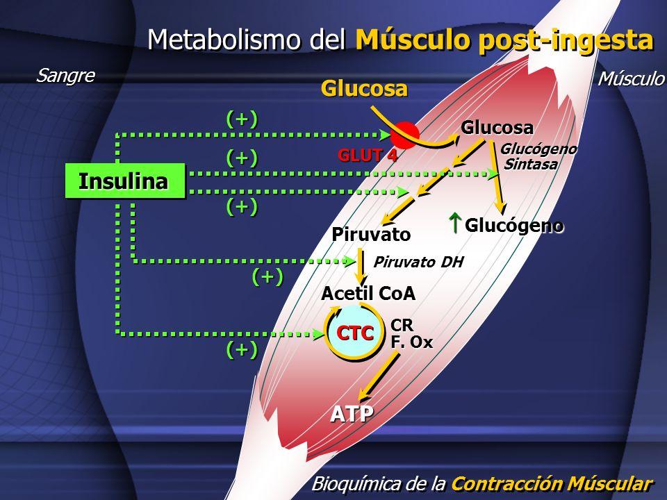 Bioquímica de la Contracción Múscular Metabolismo del Músculo post-ingesta Sangre Glucosa Glucosa Glucógeno Glucógeno Glucógeno Sintasa Sintasa Piruva