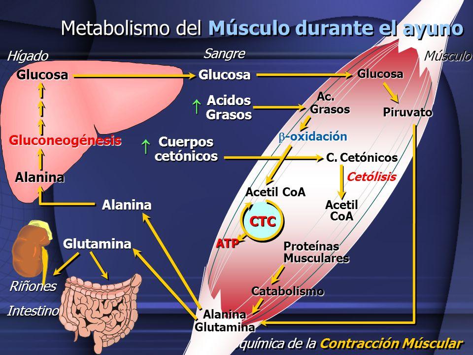 Bioquímica de la Contracción Múscular Hígado Metabolismo del Músculo durante el ayuno MúsculoSangre GlucosaGlucosa Alanina Gluconeogénesis Glucosa Aci